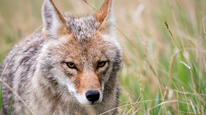 Are Drug-Crazed Coyotes Attacking People and Pets in a Canadian Park? Preview Image