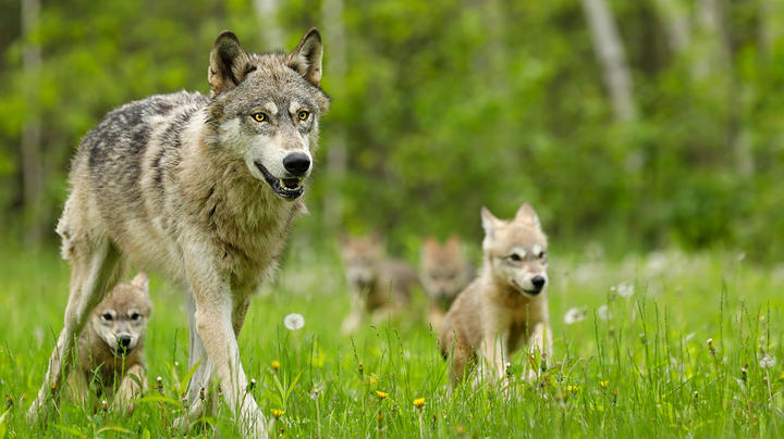 First Wild Wolf Pup Litter Spotted in Colorado Since the 1940s Preview Image