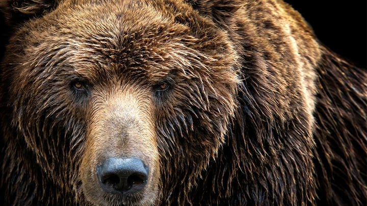 Alaska Man Recovering After Brown Bear Attack Preview Image