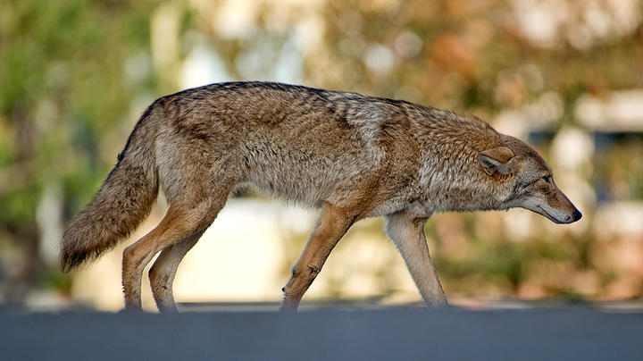 Coyote Attacks Two Toddlers on Same Day Preview Image
