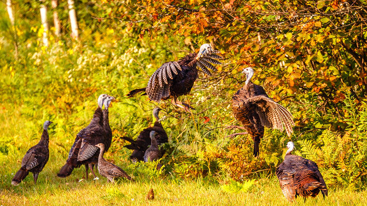 How to Hunt Fall Turkeys from a Blind Preview Image