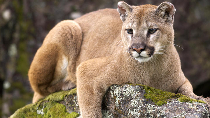 California Is Relocating Mountain Lions to Save Endangered Bighorn Sheep Preview Image