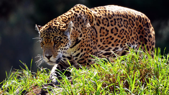 Conservationists and Scientists Push for Jaguar Reintroduction in the Southwest Preview Image