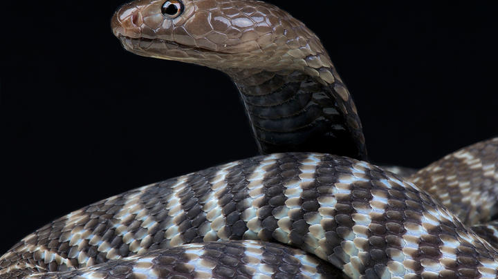 Spitting Cobra Caught After Several Days on the Loose in North Carolina Neighborhood Preview Image