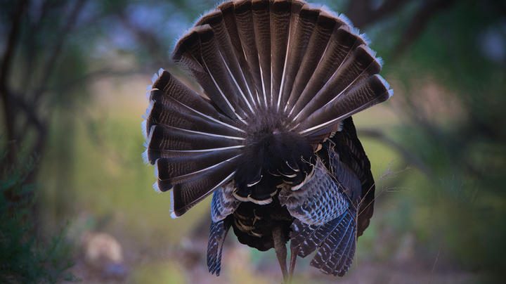 How Can These Turkey Hunting Laws Be Legal? Preview Image