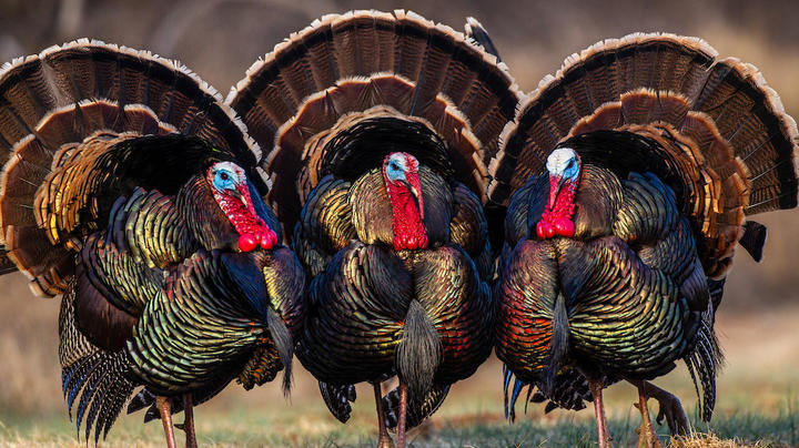 Early Season or Late: What's the Best Time to Kill a Turkey? Preview Image