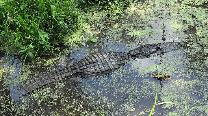 Authorities Search for Man Attacked by Alligator in His Shed During Hurricane Ida Preview Image