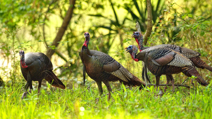Public-Land Osceola Turkey Hunting Preview Image