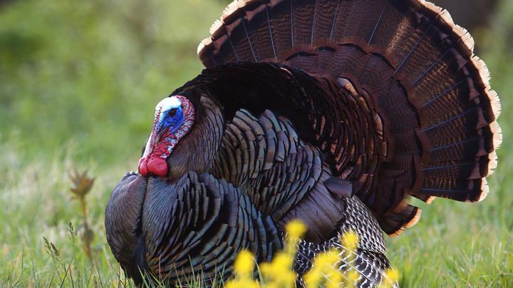 Newsmaker: Turkeys for Tomorrow Group Aims to Help Declining Southeast Populations Preview Image