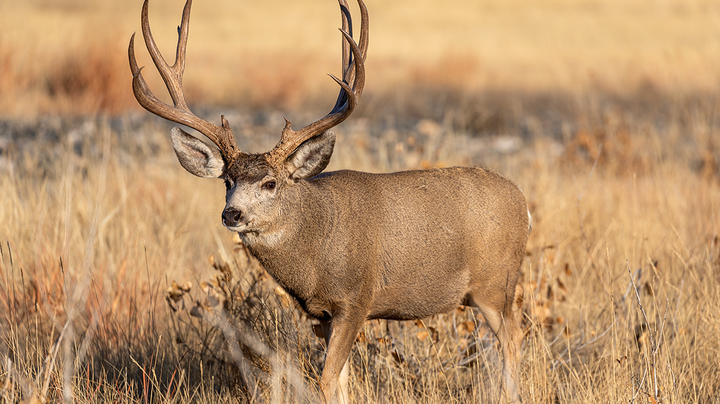 How Mule Deer Kicked My Butt, Again Preview Image