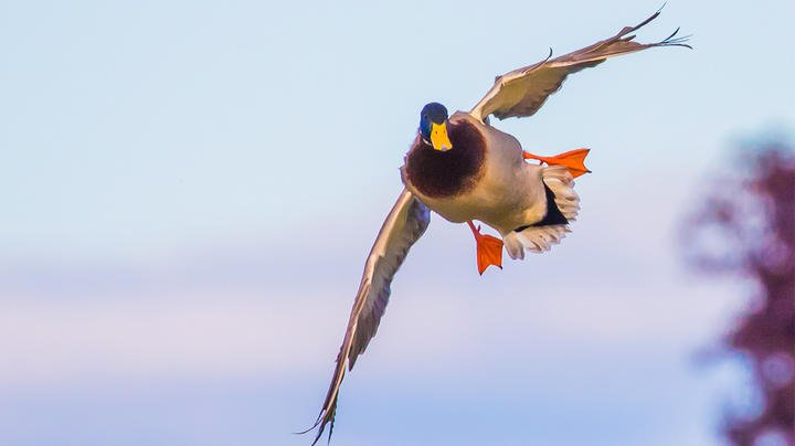 Podcast: The Impact of Spinning-Wing Decoys Part 2: Brian Lovett Preview Image