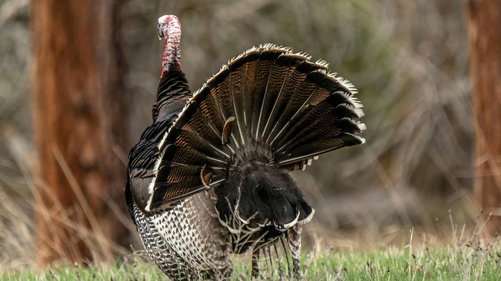 Best Merriam's Turkey Hunting States Preview Image