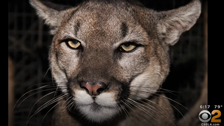 Mother Fights Off Mountain Lion to Save Young Son  Preview Image