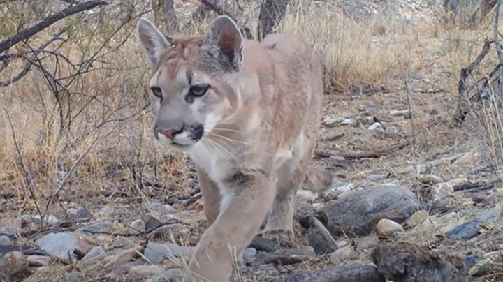 Rare Trail-Cam Footage Shows Mountain Lion Stalking Coues Deer Preview Image