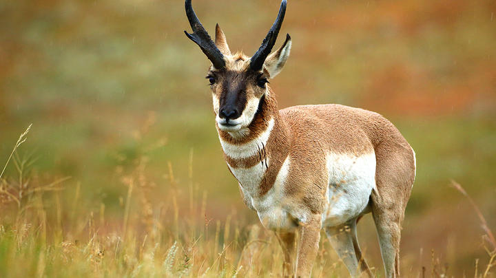 Podcast: Antelope Forecast and Bowhunting Tips   Preview Image