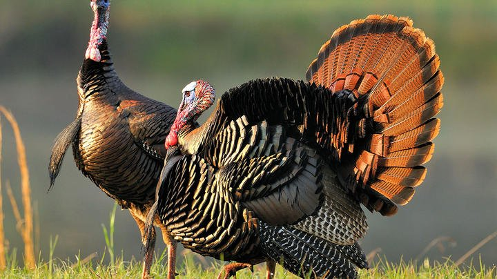 Turkey Hunting Nation Northeast Update Preview Image