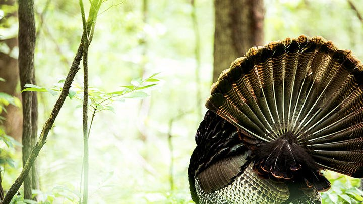 Top 5 States for May Turkey Hunting Preview Image