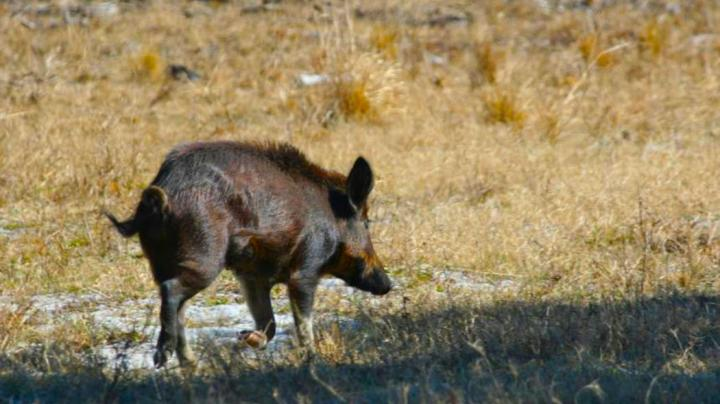 Tips for Bowhunting Pigs Preview Image