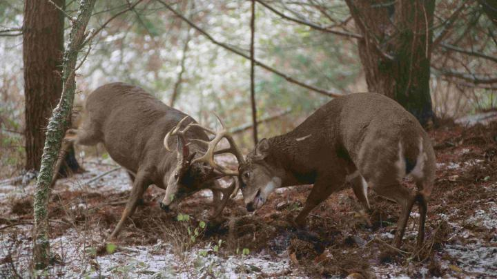 Old Bucks: What Makes a Buck Mature?  Preview Image