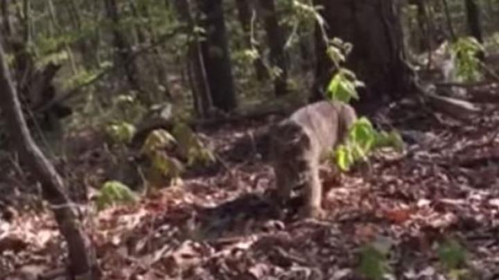 Video: Bobcat Stalks and Attacks Turkey Hunter Preview Image