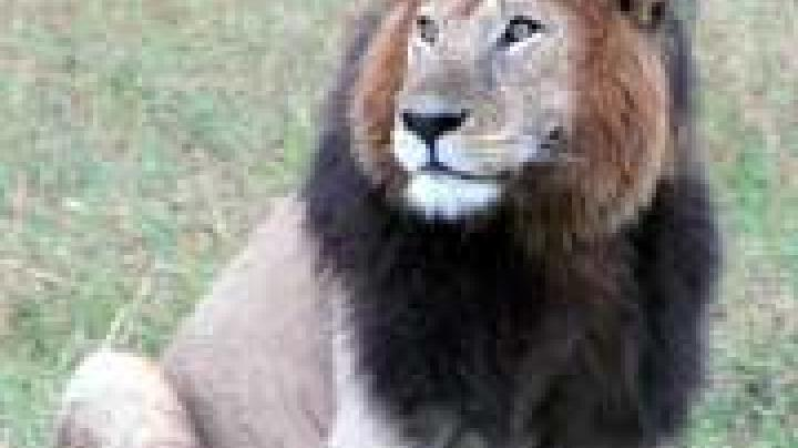 Hunting Practices: Male Lions Are From Mars, Lionesses Are From Venus Preview Image