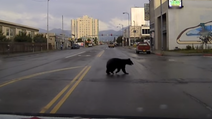 Funny Video Montage Shows Police Chasing Bear Through Downtown Anchorage Preview Image