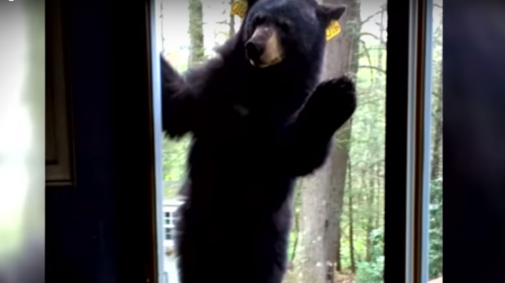 Watch Hungry Bear Try to Break Into Home Preview Image