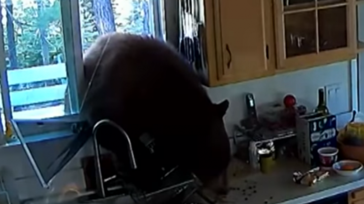 Watch Hungry Bear Break Through Kitchen Window Preview Image