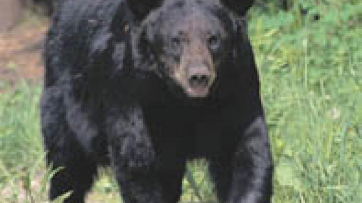 Bears Go Bonkers in Alabama Preview Image