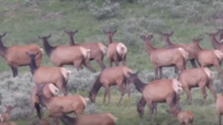 Watch Grizzly Chase Elk in Yellowstone Preview Image