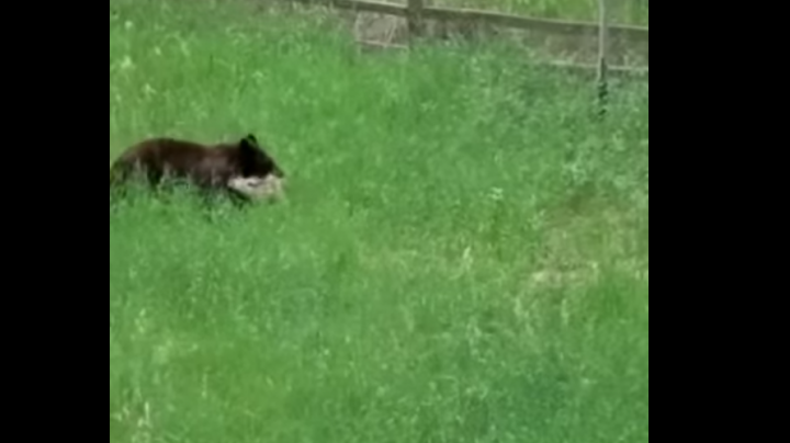 Watch Mama Bear Attack Fawn in Backyard While Family Argues Over What to Do Preview Image