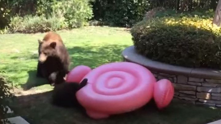 Kids Watch Through Window as Bear Cub Destroys Flamingo Float Preview Image