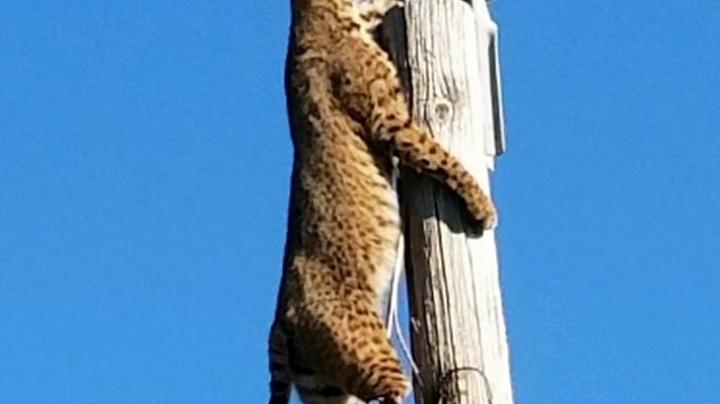 Check Out Crazy Photos of Bobcat Hanging From Power Line Preview Image