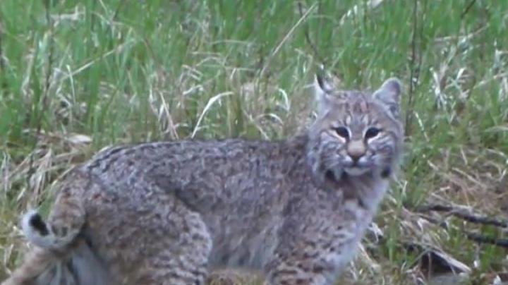 Turkey Hunting Video: Bobcat Tackles Turkey Decoy Preview Image
