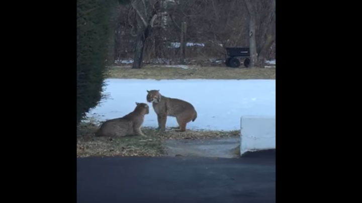 Are These Bobcats Angry or In Love? Preview Image
