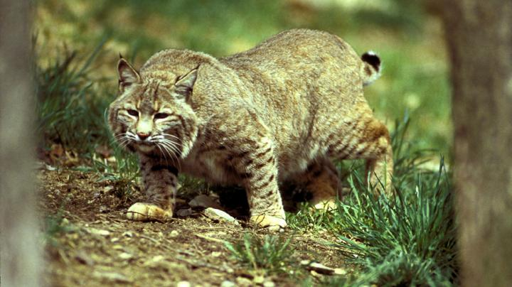 Illinois Passes the Bobcat Bill Preview Image