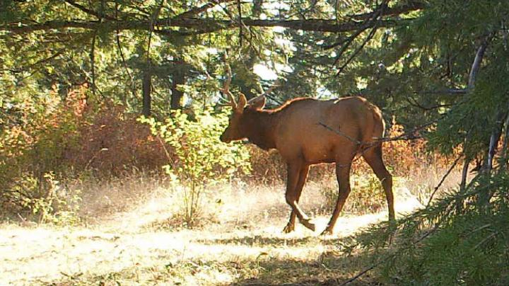 Why Would A Guy Let A Perfectly Good Bull Elk Walk?  Preview Image