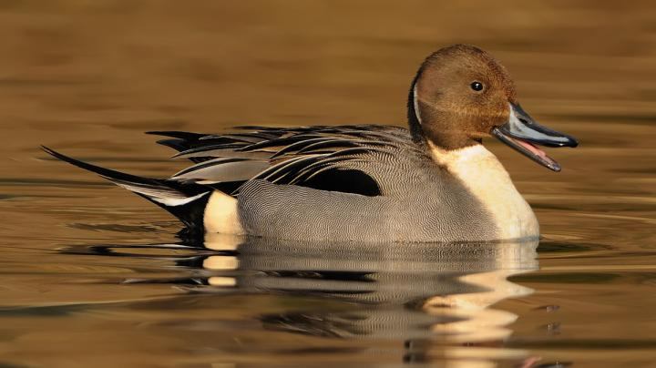 Duck Hunting in California Preview Image