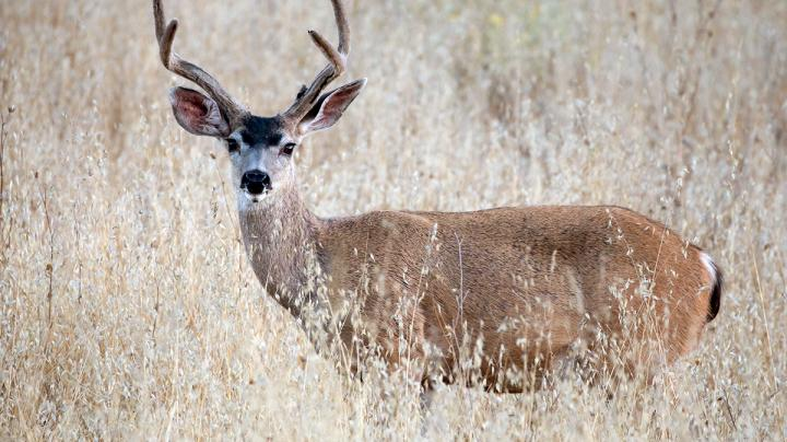How to Bowhunt for Blacktails Preview Image