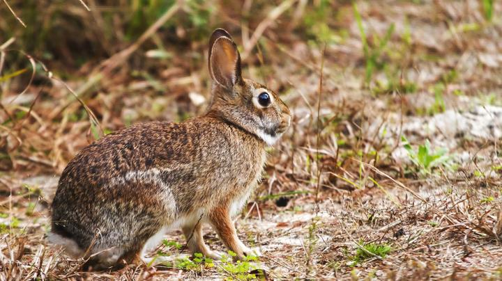 Hunting the Modern Cottontail Rabbit Preview Image