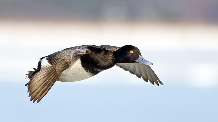 How Well Do You Know Your Diving Ducks? Preview Image