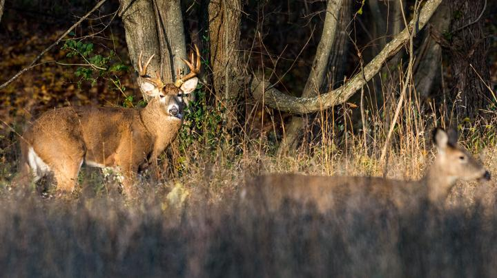What All Happens When a Buck Tends a Doe Preview Image