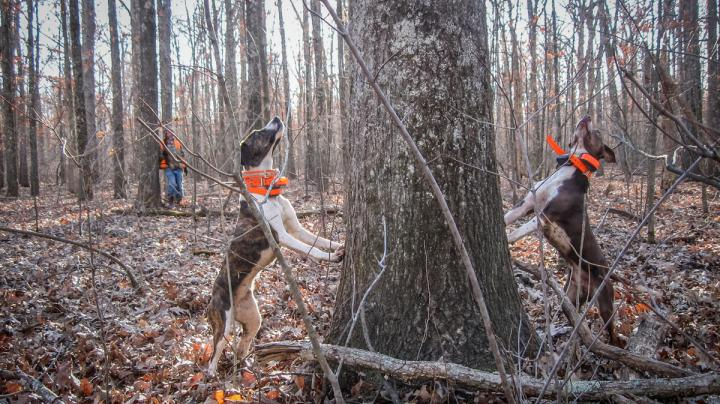How to Squirrel Hunt with Dogs Preview Image