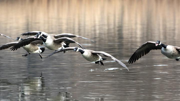 Canada Geese are Water Fowl Preview Image