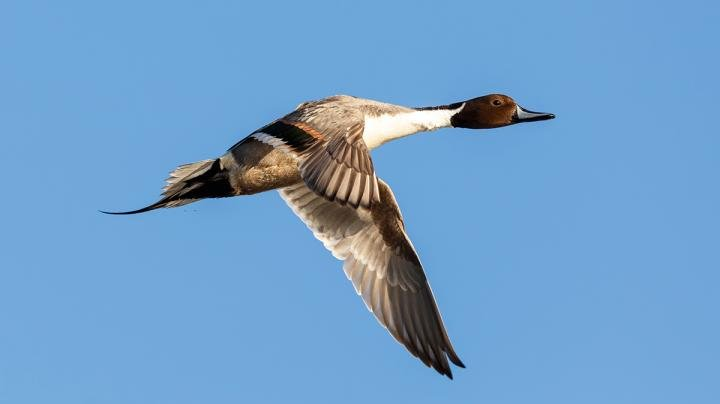 Pacific Flyway Hunting Off to a Strong Start Preview Image