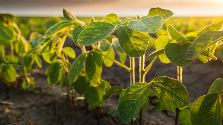Food Plot Seed: How to Plant Soybeans Preview Image