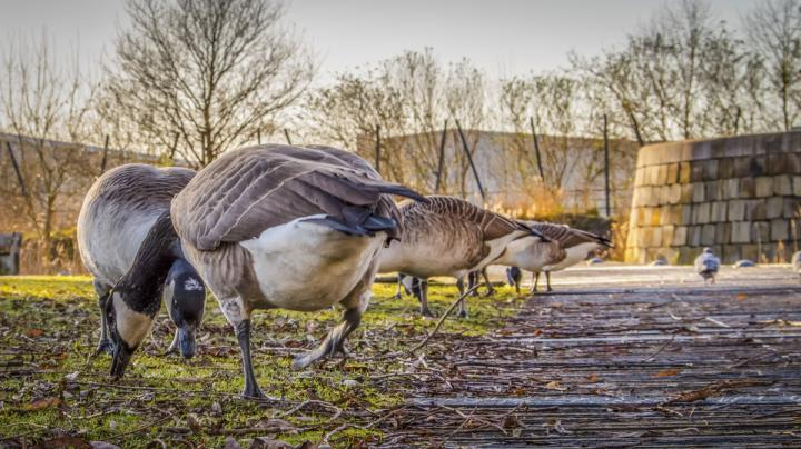 New Research: Urban Geese Sometimes Leave Town Preview Image