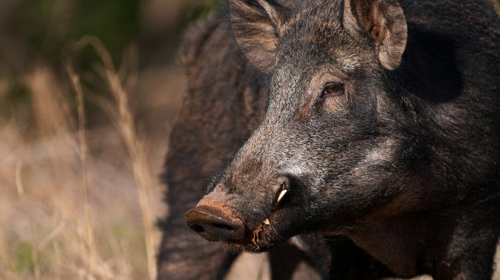 5 Truths of Bowhunting Hogs Preview Image