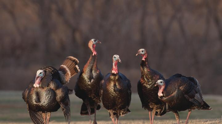 Realtree Turkey Hunting Tip of the Week: When You Should Shoot a Jake Preview Image
