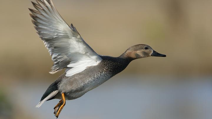 Gadwall: The Gray Duck Dilemma Preview Image